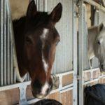 box-exterieur-deux-tetes-chevaux-qui-sortent-de-leur-box-un-marron-autre-blanc-qui-regarde-photographe-ecuries-nicolas-mergnac-charente.