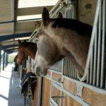 box-exterieur-ecuries-nicolas-mergnac-trois-tetes-chevaux-depassent-de-leur-bos-et-regadent-droi-devant-eux-charente
