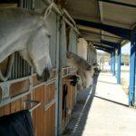 box-exterieur-plusieurs-chevaux-sortent-tete-ecuries-nicolas-mergnac