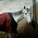 cheval-blanc-avec-couverture-rouge-et-noir-dans-son-box-debout-ecuries-nicolas-mergnac-charente