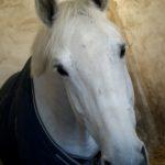 cheval-blanc-dans-box-avec-une-couverture-bleue-nercillac-charente