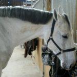cheval-blanc-hors-de-son-box-criniere-noire-ecuries-nicolas-mergnac-nercillac-charente.