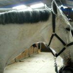 cheval-blanc-portrait-de-profil-tete-cheval-blanc-criniere-noir-ecuries-nicolas-mergnac-charente.