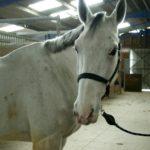 cheval-blanc-qui-tourne-la-tete-attache-avec-un-filet-museau-tachete