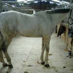 cheval-blanc-tachete-debout-au-milieu-des-ecuries-nicolas-mergnac-nercillac-charente.