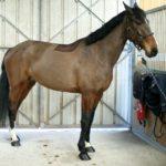 cheval-debout-devant-portes-en-fer-cheval-a-vendre-nercillacèecuries-nicolas-mergnac-charente-