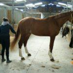 cheval-marron-clair-pansage-criniere-accroche-en-attente-ecuries-nicolas-mergnac-nercillac-charente
