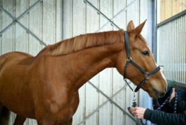 cheval-marron-clair-pose-devant-portes-en-fer-ecuries-nicolas-mergnac-charente