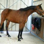 cheval-marron-debout-avec-criniere-noire-cheval-a-vendre-ecuries-nicolas-mergnac-nercillac