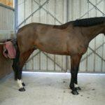 cheval-marron-devant-portes-en-fer-ecuries-nicolas-mergnac-nercillac