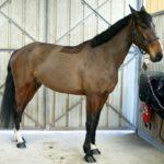 cheval-marron-fonce-commerce-nercillac-cheval-a-vendre-ecuries-nicolas-mergnac-charente.
