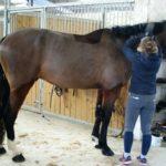 cheval-marron-fonce-pansage-cheval-a-vendre-ecuries-nicolas-mergnac-nercillac-charente.