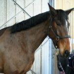 heval-marron-fonce-qui-regarde-photographe-nercillac-cheval-a-vendre.j