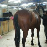 cheval-marron-pansage-nettoyage-poil-ecuries-nicolas-mergnac-nercillac.