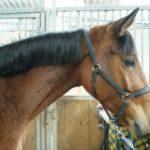 cheval-marron-portrait-avec-le-filet-ecuries-nicolas-mergnac