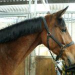 cheval-marron-portrait-cheval-a-vendre-commerce-ecuries-nicolas-mergnac-charente