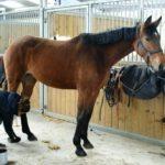 cheval-marron-quelquun-qui-met-graisse-sur-les-sabots-cheval-a-vendre-ecuries-nicolas-mergnac.