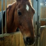 cheval-marron-qui-sort-sa-tete-du-box-nercillac-