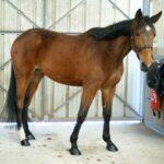 cheval-marron-qui-tourne-la-tete-commerce-cheval-a-vendre-nicolas-mergnac-ecuries-nercillac