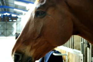 cheval-marron-tete-qui-depasse-du-box-ecuries-nicolas-mergnac-charente