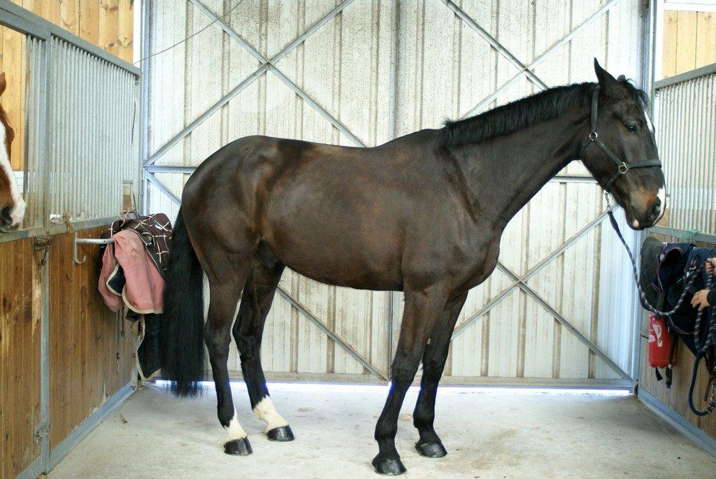 cheval-noir-a-vendre-ecuries-nicolas-mergnac-nercillac-charente.