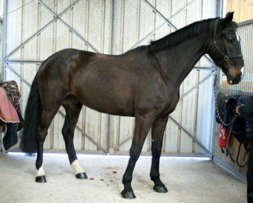 cheval-noir-devant-portes-en-fer-ecuries-nicolas-mergnac-cheval-a-vendre-nercillac-charente.