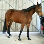 cheval-pose-devant-portes-en-fer-ecuries-cheval-a-vendre-ecuries-nciolas-mergnac-