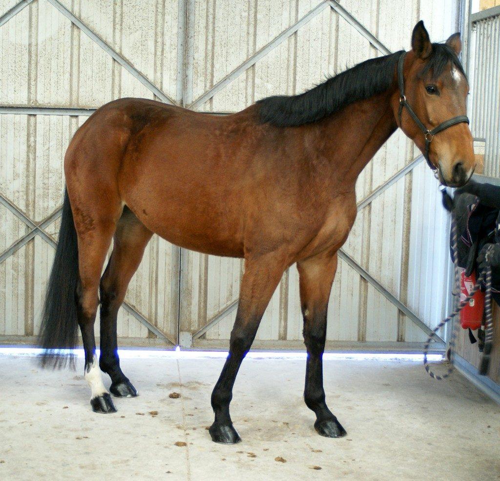 cheval-pose-devant-portes-en-fer-ecuries-cheval-a-vendre-ecuries-nciolas-mergnac