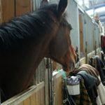 cheval-qui-sort-sa-tete-du-box-avec-devant-des-couvertures-et-accessoires-ecuries-nicolas-mergnac-charente-