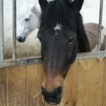 deux-chevaux-dans-box-un-blanc-et-autre-noir-et-marron-nercillac