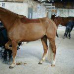 deux-chevaux-en-train-de-se-curer-les-sabots-hors-de-leur-box-ecuries-nicolas-mergnac-charente