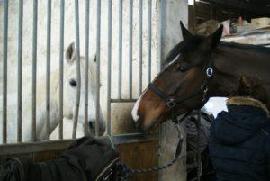 deux-chevaux-un-blanc-dans-un-box-autre-marron-fonce-attache-ecuries-nicolas-mergnac-nercillac-charente.