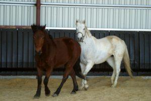 deux-chevaux-un-blanc-et-unmarron-en-liberte-dans-le-mange-ecuries-nicolas-mergnac