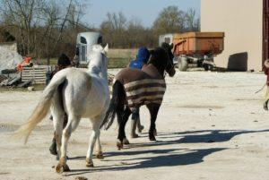 deux-chevaux-un-noir-et-un-blanc-qui-sortent-des-ecuries-a-la-longe-soleil-ecuries-nicolas-mergnac-charente