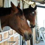deux-tetes-chevaux-marrons-qui-depassent-de-leur-box-exterieur-ecuries-nicolas-mergnac-nercillac-charente