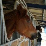 deux-tetes-chevaux-marrons-qui-sortent-du-box-box-exterieur-ecuries-nicolas-mergnac-nercillac.