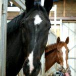 deux-tetes-chevaux-qui-sortent-de-leur-box-ecuries-nicolas-mergnac