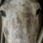 gros-plan-sur-visage-cheval-gris-blanc-avec-une-tache-entre-les-yeux-ecuries-nicolas-mergnac-charente.