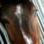 gros-plan-tete-cheval-on-voi-ses-yeux-tache-blanche-il-est-marron-il-regarde-droit-devant-ecuries-nicolas-mlergnac-charente-
