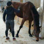 pansage-cheval-marron-ecuries-nicolas-mergnac-nercillac-charente