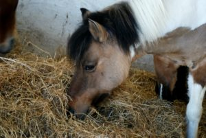 poney-marron-clair-et-blanc-qui-mange-foin.