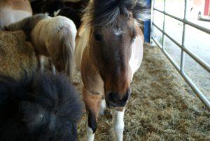 poney-marron-et-blanc-avec-dautres-poney-qui-regarde-objectif-dans-stabule-ecuries-charente-nercillac