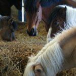 poneys-dans-stabule-en-train-de-manger-du-foin-e