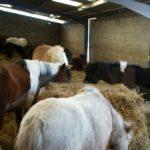 poneys-dans-stabule-qui-mangent-foin-plusieurs-couleurs-ecuries-nicolas-mergnac-nercillac.