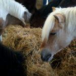 poneys-en-train-de-manger-foin-ecuries-nicolas-mergnac