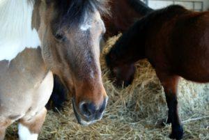 poneys-marron-clair-avec-visage-plus-fonce-en-fond-autres-poneys-qui-mangent-foin-ecuries-nicolas-mergnac-nercillac-charente