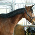 portrait-cheval-marron-avec-filet-commerce-cheval-a-vendre-ecuries-nicolas-mergnac.j