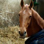 portrait-cheval-marron-avec-petit-tache-entre-les-yeux-ecuries-nicolas-mergnac-charen