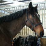 portrait-cheval-marron-fonce-criniere-noire-devant-un-box-ecuries-nicolas-mergnac-nercillac-charente
