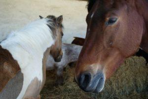 portrait-ponay-marron-fonce-tete-en-fond-on-voit-autres-poneys-qui-mangent-en-flou-ecuries-nercillac-charente.